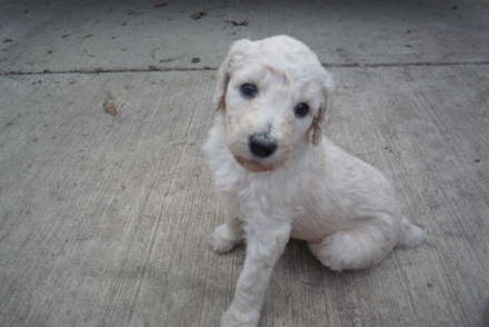 CKC Standard Poodle Pups Reduced In Price - Poodle