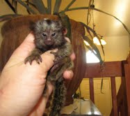 Baby Marmoset Monkeys For Adoption -