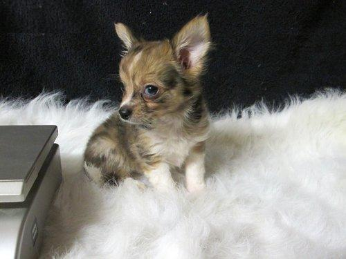 Cute Looking Chihuahua Puppy For Free Adoption - Chihuahua