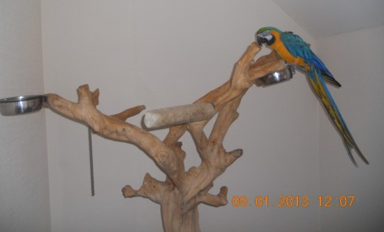 Baby Blue And Gold Macaw For Sale - Blue Gold Macaw9