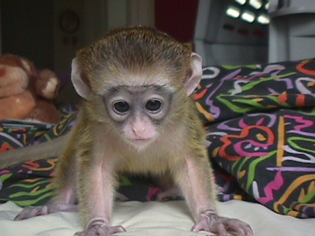 Gogeous Capuchin Baby Monkeys For Sale - Crawl