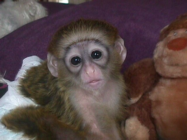 Gogeous Capuchin Baby Monkeys For Sale - Max Male 1