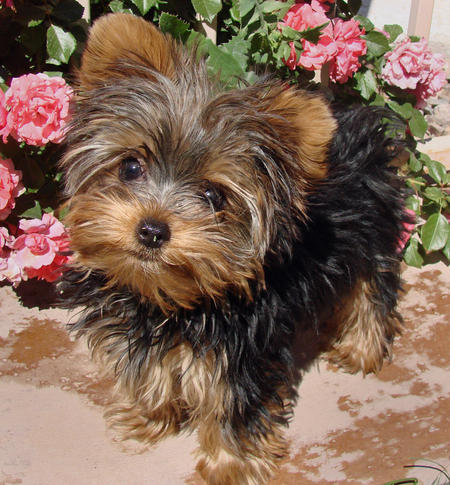 Very Cute Teacup Yorkie Puppies For Adoption - Ggggggggg
