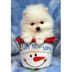 Pomeranian Puppies For Sale -