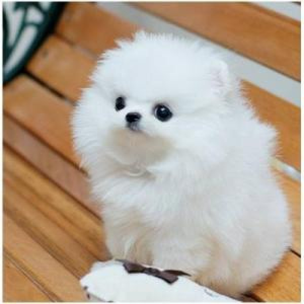Four Cute And Adorable Teacup Pomeranian Puppies -