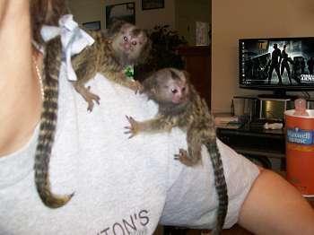 Baby Marmoset Monkeys For Adoption -