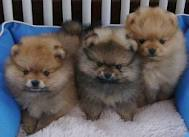 Exceptional Litter Of Pomeranian Puppies Available For Adoption - Pom1