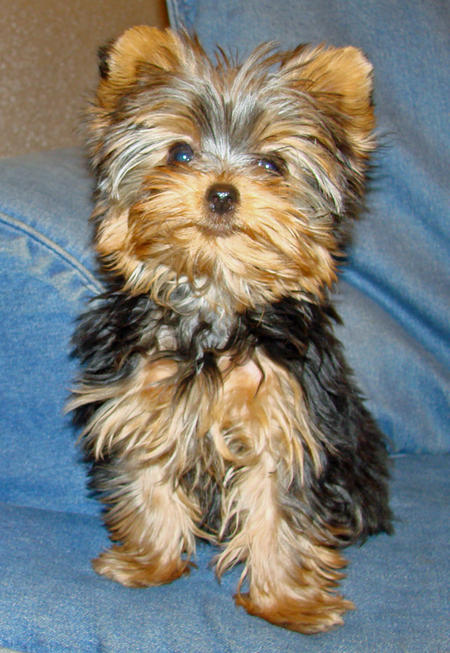 Affectionate Teacup Yorkie Puppies For Adoption - Hhhhhhhhhhh