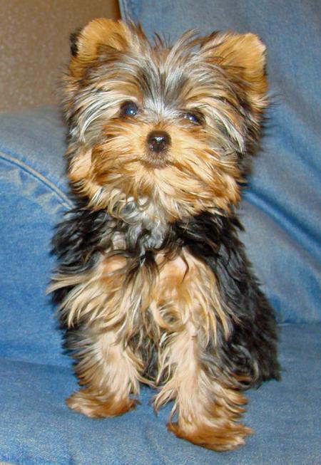 Affectionate Teacup Yorkie Puppies For Adoption - Hhhhhhhhhhh