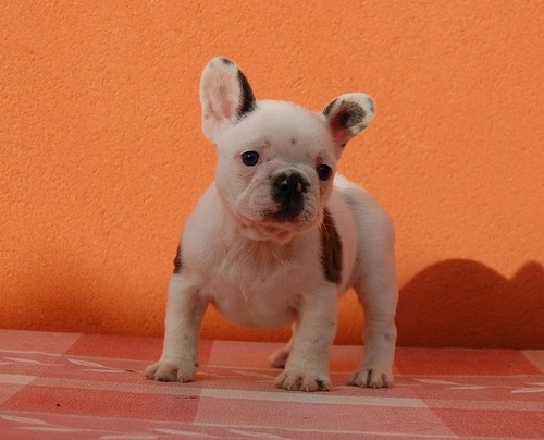 Pure Breed Male/Female French Bulldog Puppies Available For Adoption - Male French Bulldog