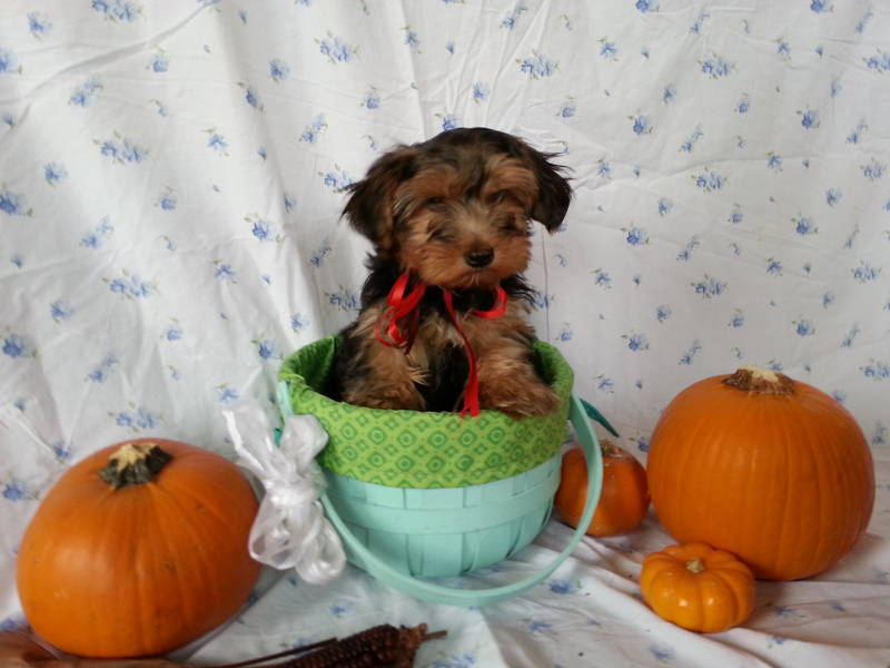 Yorkie Puppies -