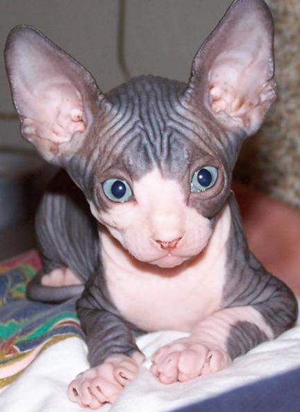 Outstanding Solid Color Sphynx Kittens Available Now - Sphynx Kittens