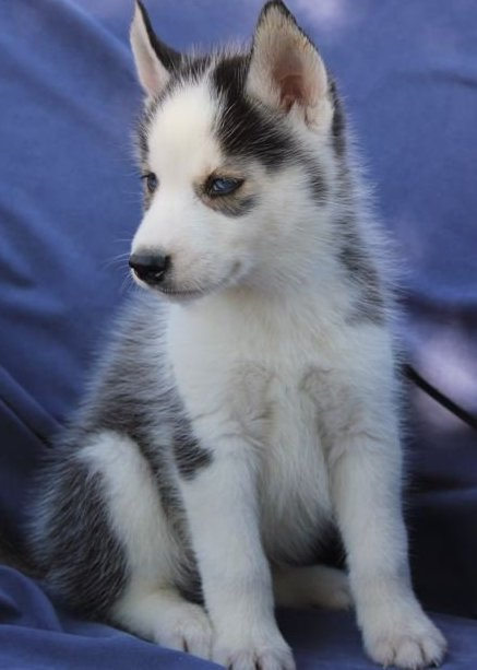Super Stunning Blue Eyes Siberian Husky Puppies - Husky
