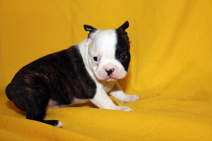 Gorgeous Boston Terrier Puppies For Sale - Darla White Face Girl A14 Med