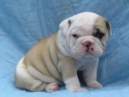 English Bulldog Puppies For Sale - Bull