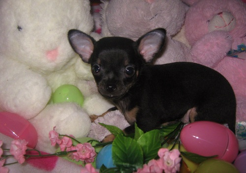 Healthy Teacup Chihuahua Puppies - Baby2