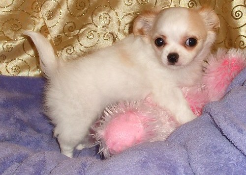 Healthy Teacup Chihuahua Puppies - C2