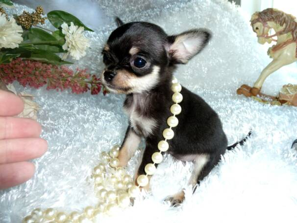 Awesome Tiny Little Male CKC Registered Chihuahua - Duck0