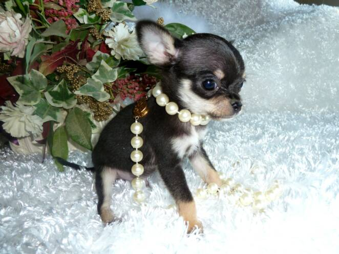Awesome Tiny Little Male CKC Registered Chihuahua - Duck3