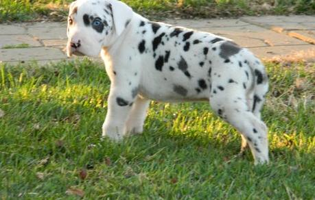 Superb Great Danes With Beautiful Markings - Gratedane