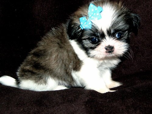 Excellent Males And Females Shih Tzu Puppies With All Vaccines - Shih Tzu