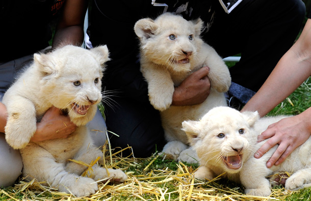 Gorgeous White Lion Cube,Tiger Cubs,Savannah Kitten,Ocelot Kittens And African Serval -