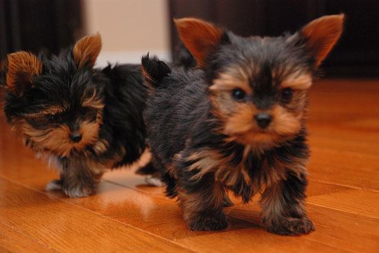 Gorgeous Tiny Yorkie Puppies - Yorkie9