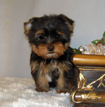 Sweet Yorkie Puppies Ready Now - Female