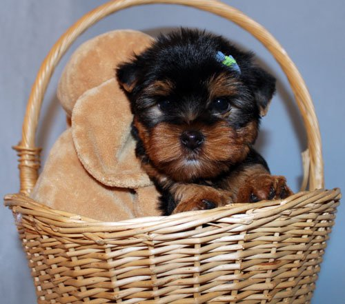 Sweet Yorkie Puppies Ready Now - Uu