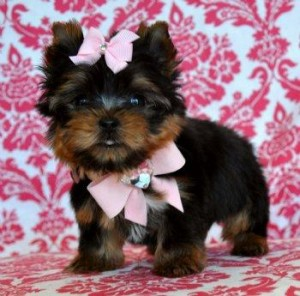 Yorkshire Terrier Puppies For Sale -