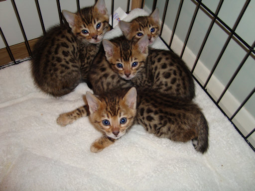 Bengals And Savannah Kittens Ready To Go - Bengal Kittens Gloucestershire 14
