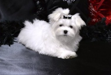 Lovely Teacup Maltese Puppies - Sandy M R Pic