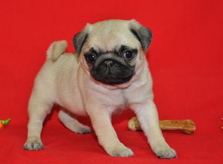 AKC Kennel Club Register Pug Puppies - Pug Puppies