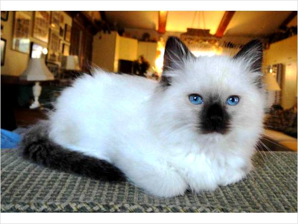 Tica Registered Ragdoll Kittens - Zumfw
