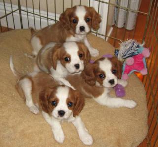 Pedigree~Cavalier King Charles Spaniel Pups - Cavalier King Charles12