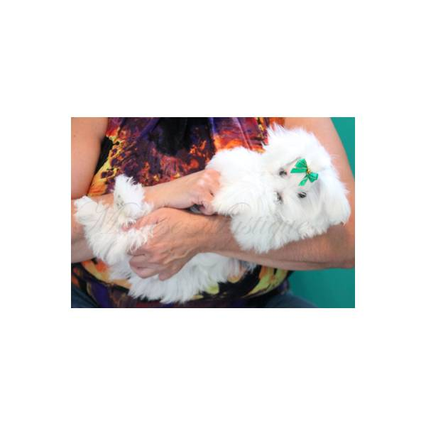 Luxury Snow White Coat T Cup Maltese Female - Hairy Maltese