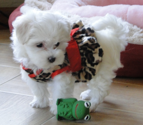 Adorable Pure White Maltese Puppies For Sale - Rocky Male 1