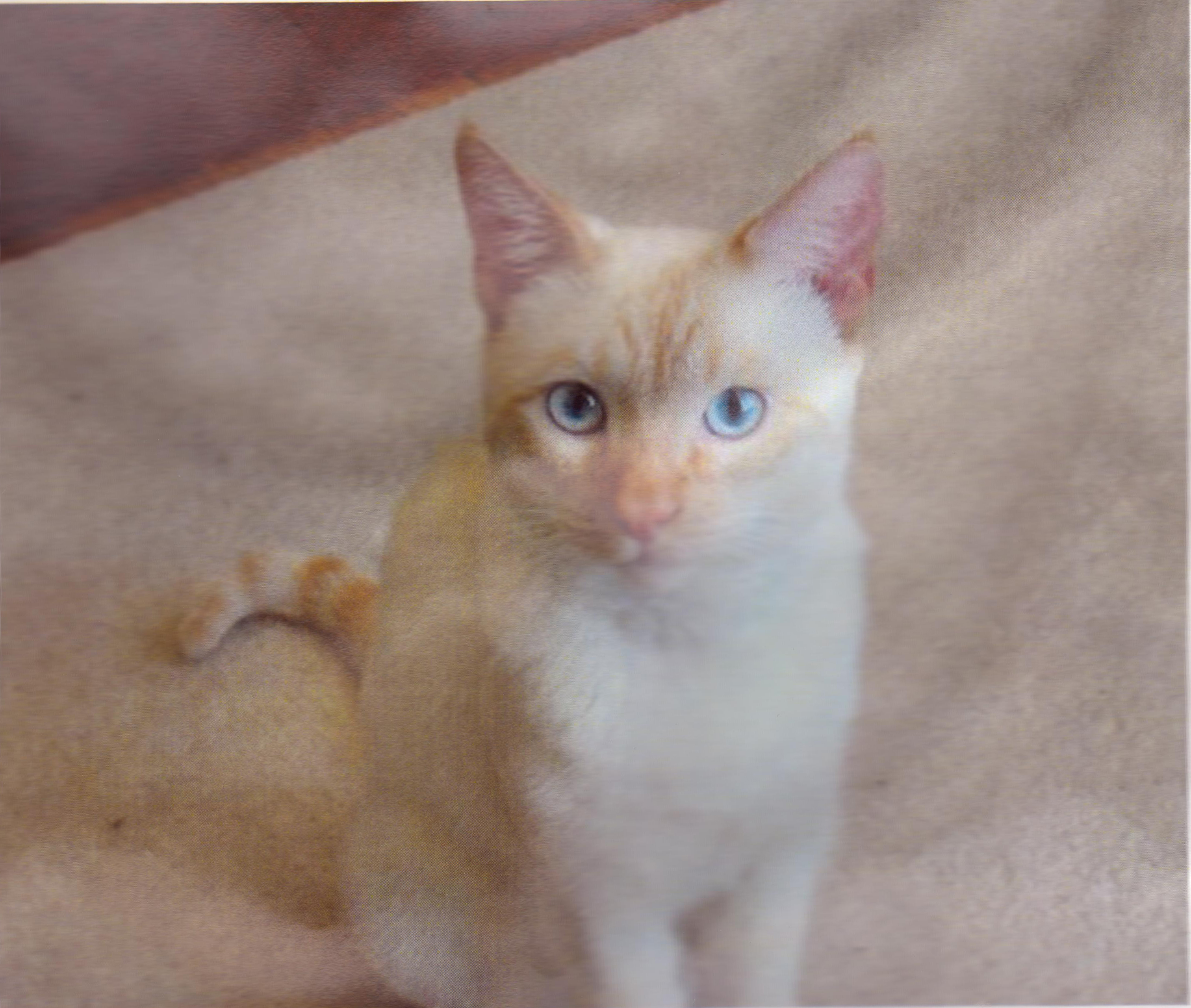 Lost White Cat Near Lakeport Road Offering $300 Reward! - Missing White Male Cat Name Bean